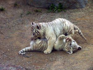 じゃれあう子ライオン達の画像