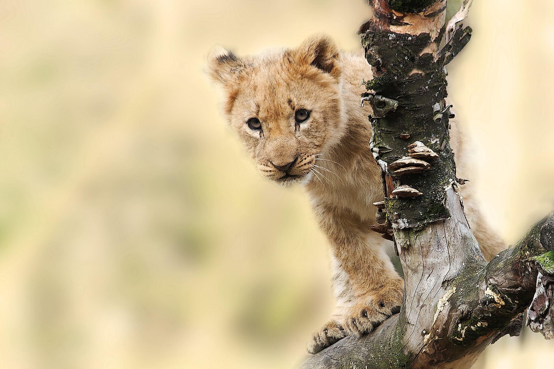 小ライオンの画像