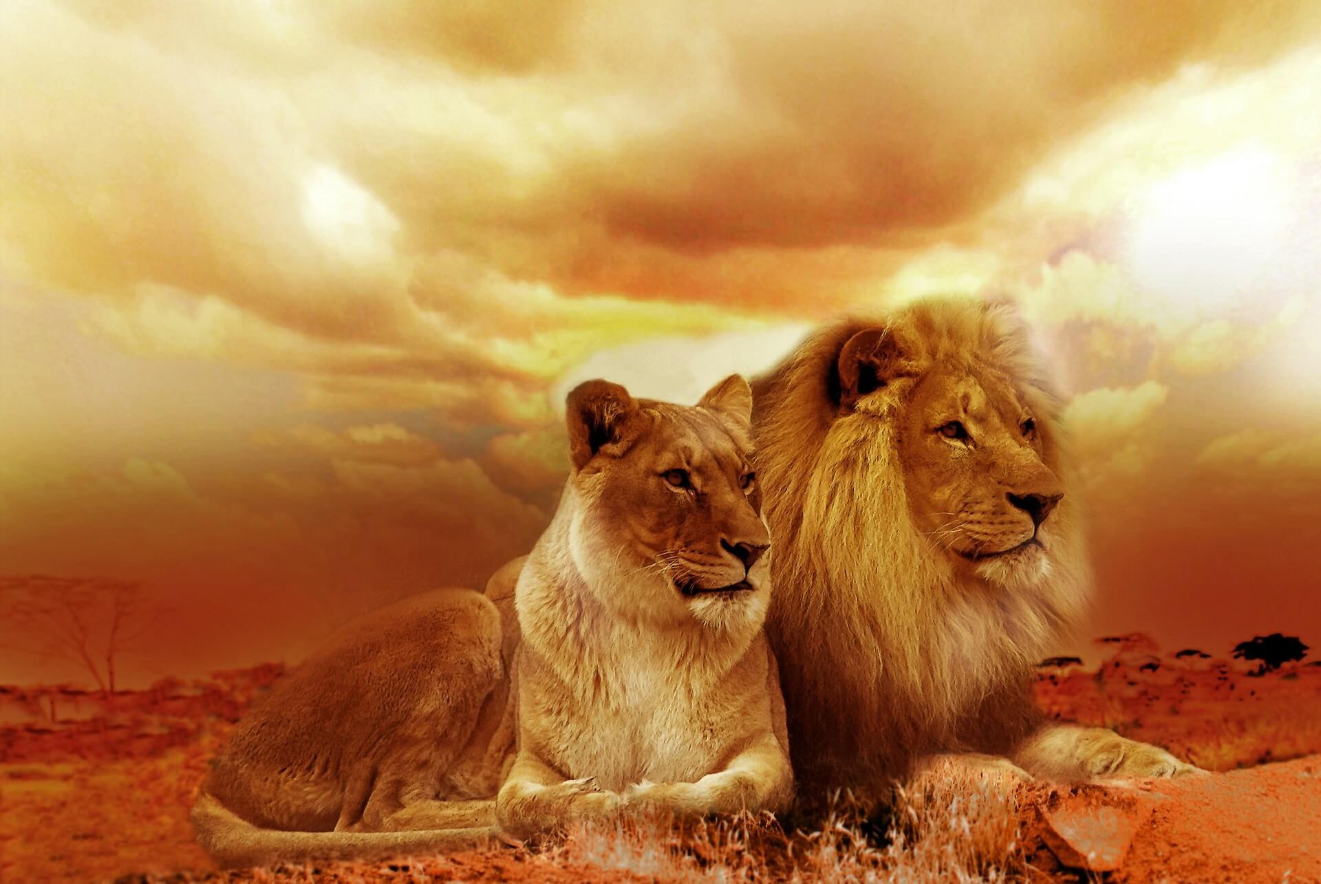 オスライオンとメスライオンの画像