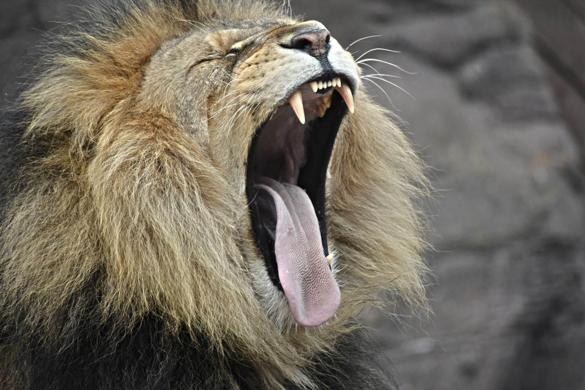 ライオンがあくびをしている画像